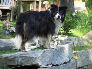 Border Collie Sires